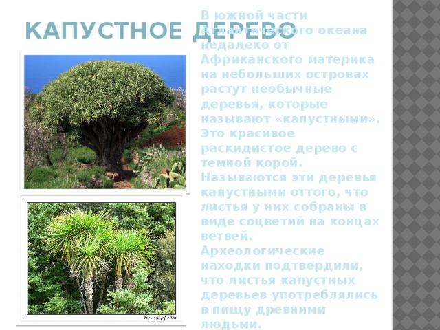 В южной части Атлантического океана недалеко от Африканского материка на небольших островах растут необычные деревья, которые называют «капустными». Это красивое раскидистое дерево с темной корой. Называются эти деревья капустными оттого, что листья у них собраны в виде соцветий на концах ветвей. Археологические находки подтвердили, что листья капустных деревьев употреблялись в пищу древними людьми. Сегодня эти растения в пищу не используют. Капустное дерево