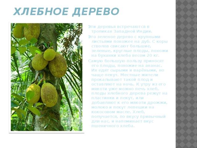 Хлебное дерево   Эти деревья встречаются в тропиках Западной Индии. Это зеленое дерево с крупными листьями похожее на дуб. С коры стволов свисают большие, зеленые, круглые плоды, похожи на буханки хлеба весом 20 кг. Самую большую пользу приносят его плоды, похожие на ананас. Их едят сырыми и варёными, но чаще пекут. Местные жители прокалывают такой плод и оставляют на ночь. К утру из его мякоти уже можно печь хлеб, плоды хлебного дерева режут на пластинки и пекут, или добавляют к его мякоти дрожжи, молоко и пекут лепешки на кокосовом масле. Хлеб, получается, по вкусу привычный для нас, и напоминает вкус пшеничного хлеба.