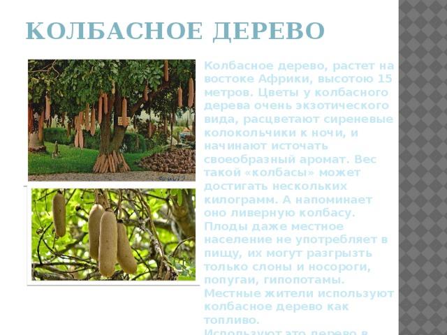 Колбасное дерево   Колбасное дерево, растет на востоке Африки, высотою 15 метров. Цветы у колбасного дерева очень экзотического вида, расцветают сиреневые колокольчики к ночи, и начинают источать своеобразный аромат. Вес такой «колбасы» может достигать нескольких килограмм. А напоминает оно ливерную колбасу. Плоды даже местное население не употребляет в пищу, их могут разгрызть только слоны и носороги, попугаи, гипопотамы. Местные жители используют колбасное дерево как топливо. Используют это дерево в медицине.
