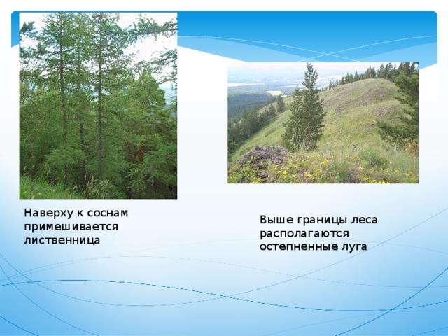 Наверху к соснам примешивается лиственница Выше границы леса располагаются остепненные луга