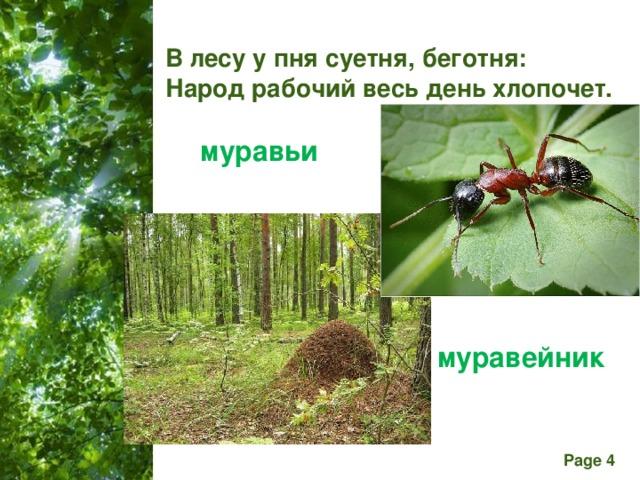 В лесу у пня суетня, беготня: Народ рабочий весь день хлопочет. муравьи муравейник