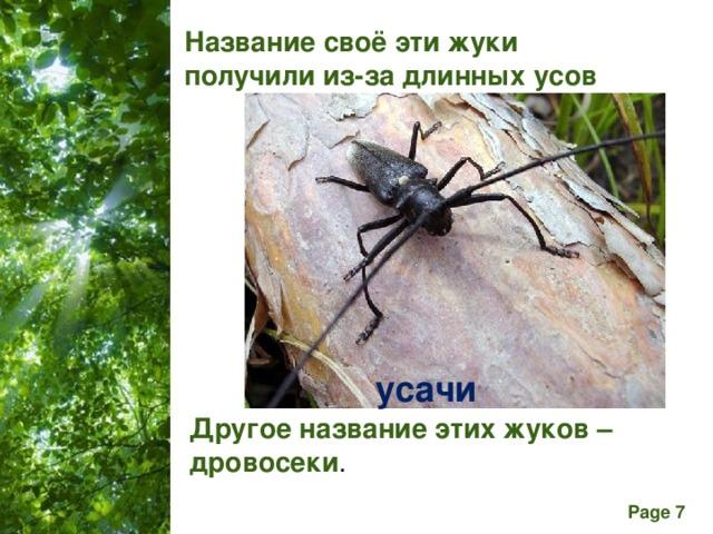 Название своё эти жуки получили из-за длинных усов усачи Другое название этих жуков – дровосеки .