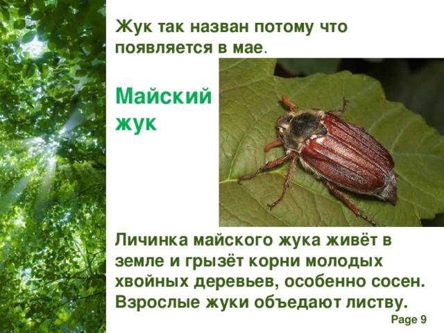 Жук так назван потому что появляется в мае . Майский  жук Личинка майского жука живёт в земле и грызёт корни молодых хвойных деревьев, особенно сосен. Взрослые жуки объедают листву.