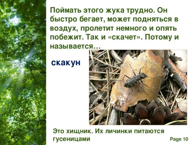 Поймать этого жука трудно. Он быстро бегает, может подняться в воздух, пролетит немного и опять побежит. Так и «скачет». Потому и называется… скакун Это хищник. Их личинки питаются гусеницами