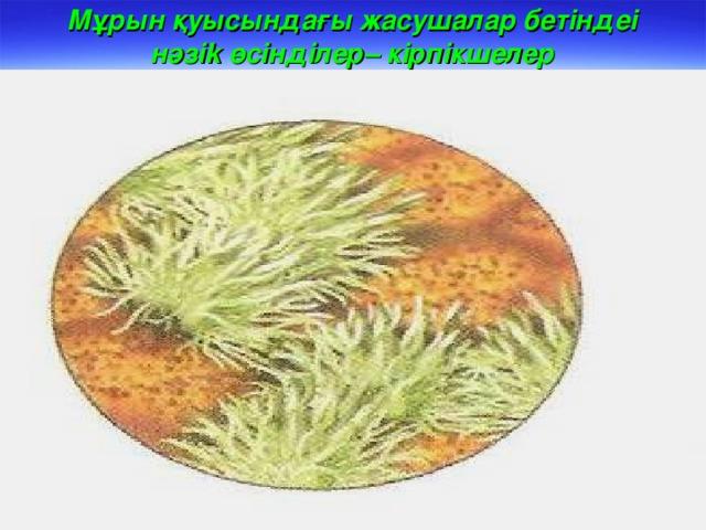 Мұрын қуысындағы жасушалар бетіндеі нәзі k өсінділер – кірпікшелер