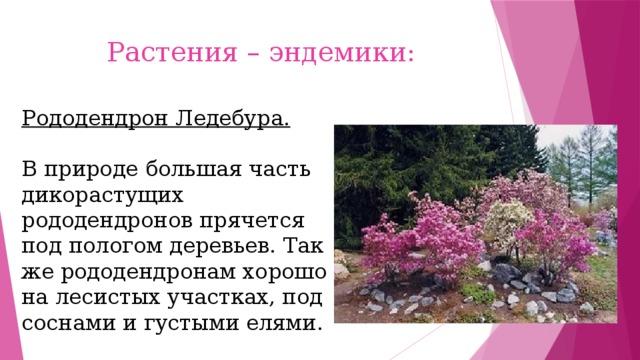 Растения – эндемики: Рододендрон Ледебура. В природе большая часть дикорастущих рододендронов прячется под пологом деревьев. Так же рододендронам хорошо на лесистых участках, под соснами и густыми елями.