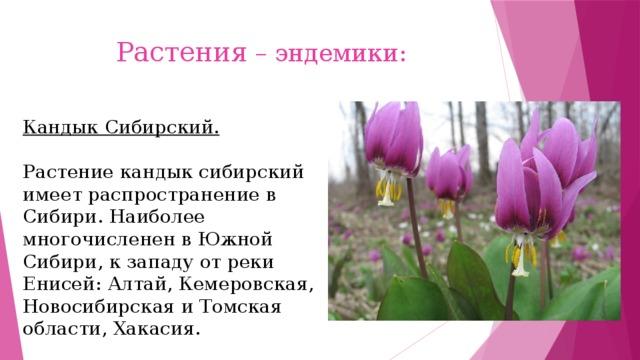 Растения – эндемики: Кандык Сибирский. Растение кандык сибирский имеет распространение в Сибири. Наиболее многочисленен в Южной Сибири, к западу от реки Енисей: Алтай, Кемеровская, Новосибирская и Томская области, Хакасия.
