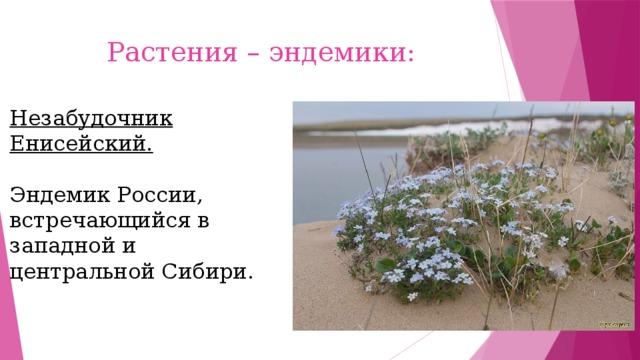 Растения – эндемики: Незабудочник Енисейский. Эндемик России, встречающийся в западной и центральной Сибири.