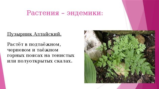 Растения – эндемики: Пузырник Алтайский. Растёт в подтаёжном, черневом и таёжном горных поясах на тенистых или полуоткрытых скалах.