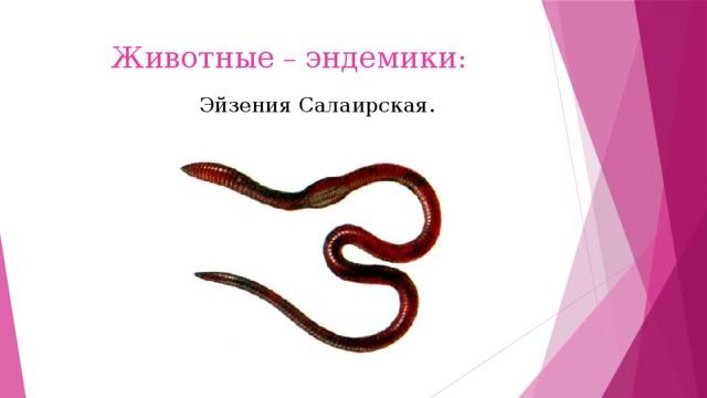 Животные – эндемики : Эйзения Салаирская.