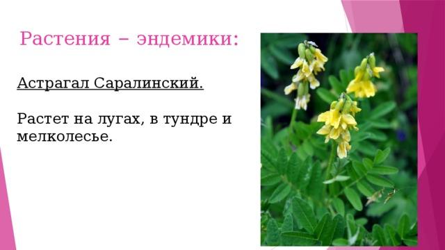 Растения – эндемики : Астрагал Саралинский. Растет на лугах, в тундре и мелколесье.