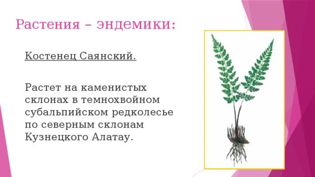 Растения – эндемики: Костенец Саянский. Растет на каменистых склонах в темнохвойном субальпийском редколесье по северным склонам Кузнецкого Алатау.