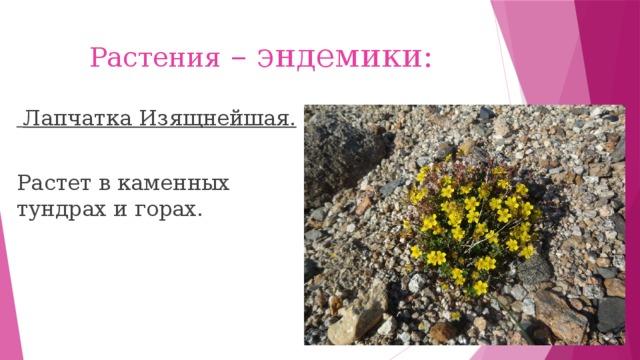 Растения – эндемики:  Лапчатка Изящнейшая.  Растет в каменных тундрах и горах.