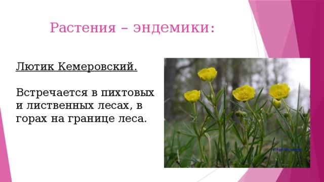 Растения – эндемики: Лютик Кемеровский.  Встречается в пихтовых и лиственных лесах, в горах на границе леса.