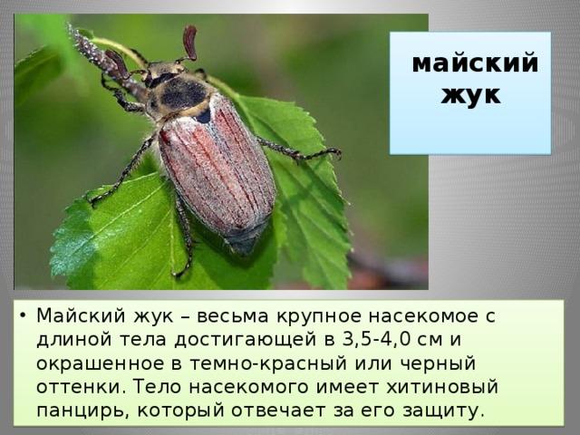 майский жук фото и описание современные