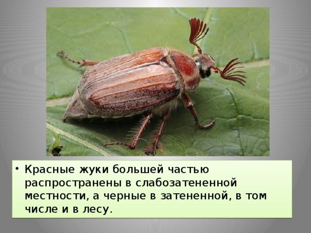 Красные жуки большей частью распространены в слабозатененной местности, а черные в затененной, в том числе и в лесу.