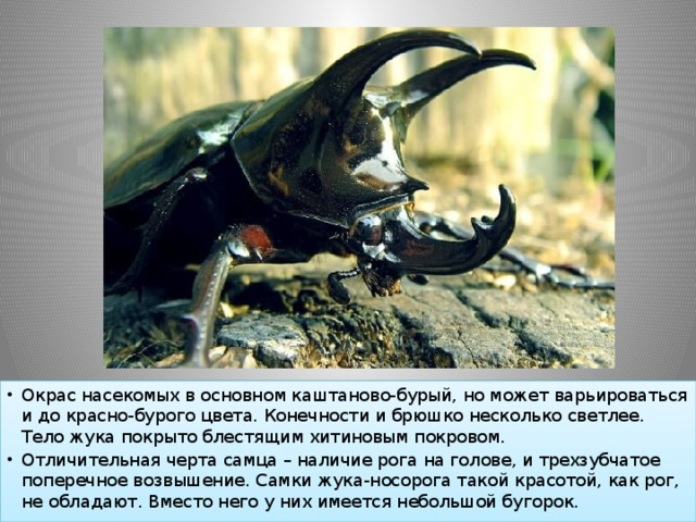 Окрас насекомых в основном каштаново-бурый, но может варьироваться и до красно-бурого цвета. Конечности и брюшко несколько светлее. Тело жука покрыто блестящим хитиновым покровом. Отличительная черта самца – наличие рога на голове, и трехзубчатое поперечное возвышение. Самки жука-носорога такой красотой, как рог, не обладают. Вместо него у них имеется небольшой бугорок.