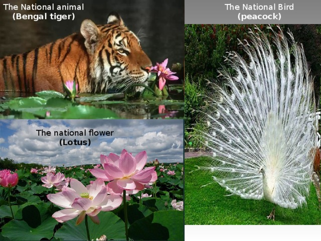 The National animal (Bengal tiger) The National Bird ( peacock ) The national flower (Lotus)