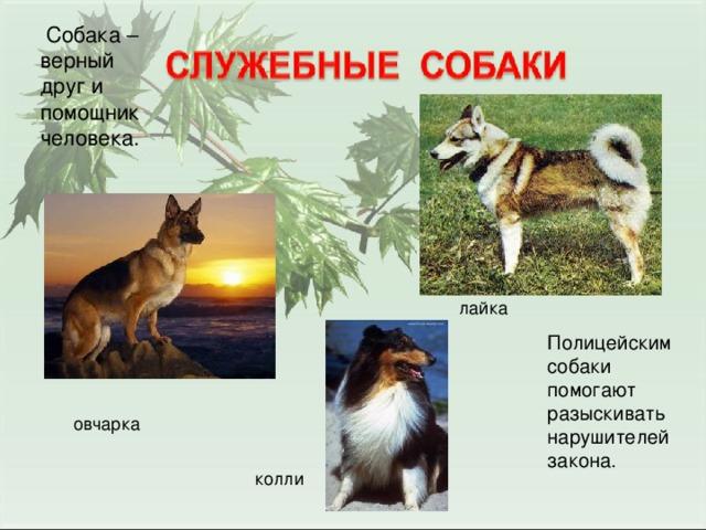Собака – верный друг и помощник человека.  лайка Полицейским собаки помогают разыскивать нарушителей закона. овчарка колли