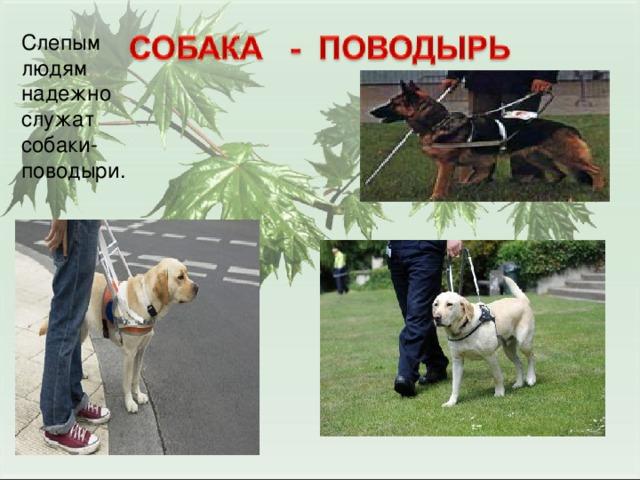 Слепым людям надежно служат собаки-поводыри.