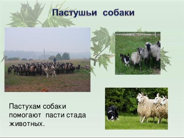 Пастухам собаки помогают пасти стада животных.