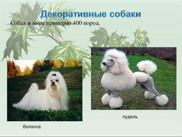 Собак в мире примерно 400 пород. пудель болонка