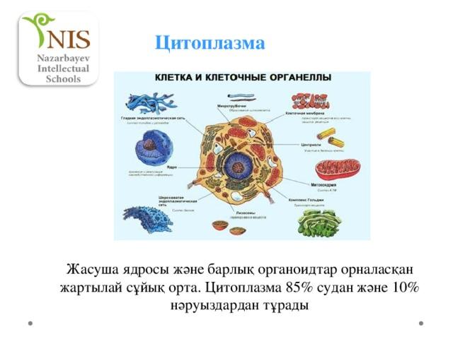 Цитоплазма Жасуша ядросы және барлық органоидтар орналасқан жартылай сұйық орта. Цитоплазма 85% судан және 10% нәруыздардан тұрады