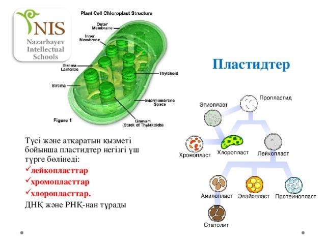 Пластидтер Түсі және атқаратын қызметі бойынша пластидтер негізгі үш түрге бөлінеді: лейкопласттар хромопласттар хлоропласттар. ДНҚ және РНҚ- нан тұрады