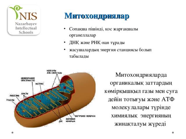 Митохондриялар Сопақша пішінді, қос жарғақшалы органеллалар ДНҚ және РНҚ-н ан тұрады жасушалардың энергия станциясы болып табылады Митохондрияларда органикалық заттардың көмірқышқыл газы мен суға дейін тотығуы және АТФ молекулалары түрінде химиялық энергияның жинақталуы жүреді
