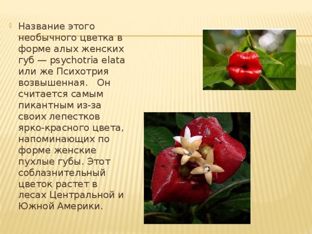 Название этого необычного цветка в форме алых женских губ — psychotria elata или же Психотрия возвышенная. Он считается самым пикантным из-за своих лепестков ярко-красного цвета, напоминающих по форме женские пухлые губы. Этот соблазнительный цветок растет в лесах Центральной и Южной Америки.