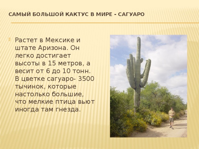 Самый большой кактус в мире - сагуаро