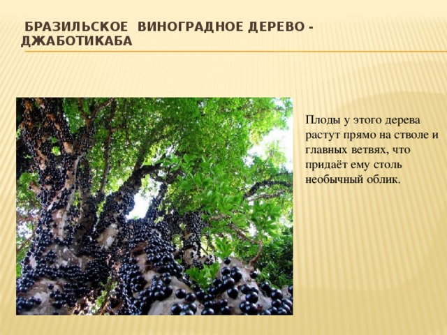 Бразильское виноградное дерево - Джаботикаба   Плоды у этого дерева растут прямо на стволе и главных ветвях, что придаёт ему столь необычный облик .