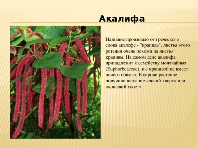 Акалифа Название произошло от греческого слова акалефе -