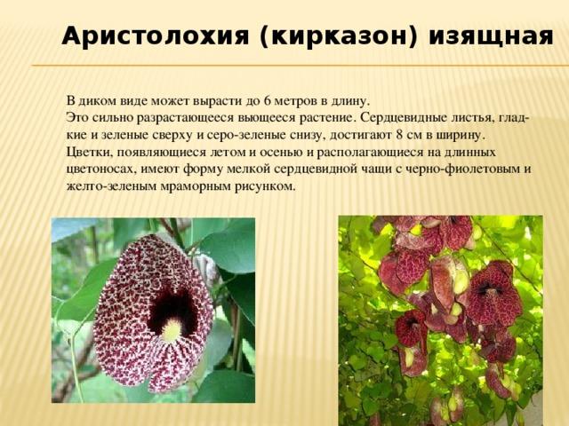 Аристолохия (кирказон) изящная В диком виде может вырасти до 6 метров в длину. Это сильно разрастающееся вьющееся растение. Сердцевидные листья, гладкие и зеленые сверху и серо-зеленые снизу, достигают 8 см в ширину. Цветки, появляющиеся летом и осенью и располагающиеся на длинных цветоносах, имеют форму мелкой сердцевидной чащи с черно-фиолетовым и желто-зеленым мраморным рисунком.