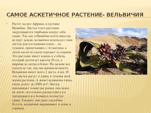 Самое аскетичное растение- вельвичия