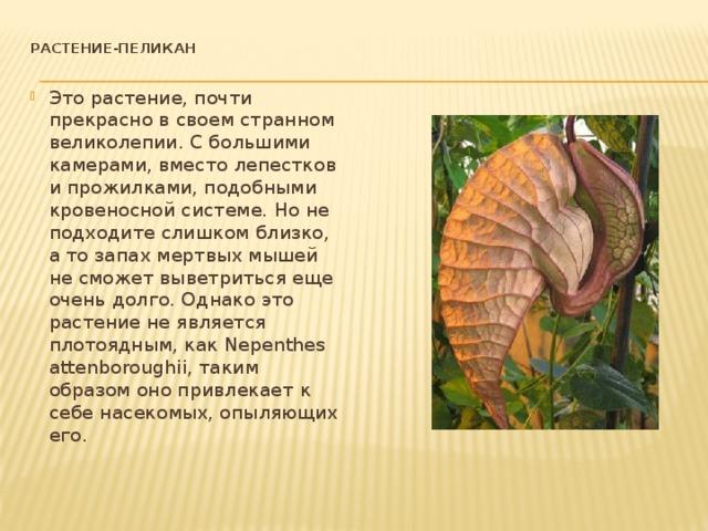Растение-пеликан