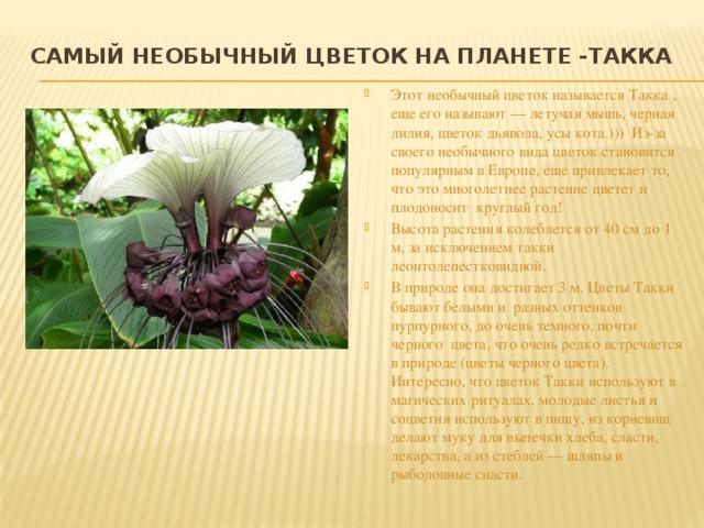 Самый необычный цветок на планете -Такка