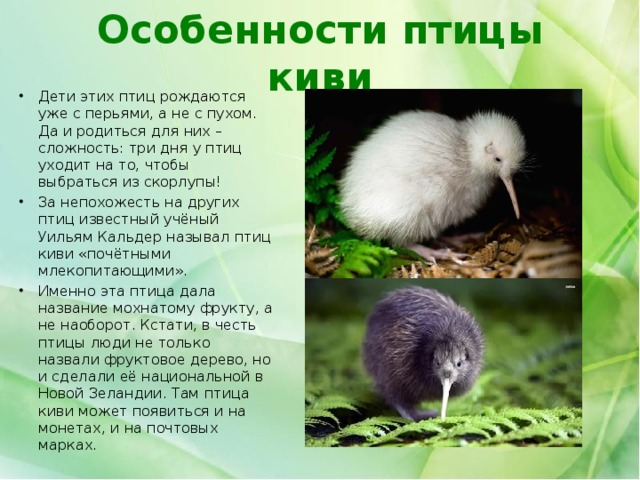 Особенности птицы киви