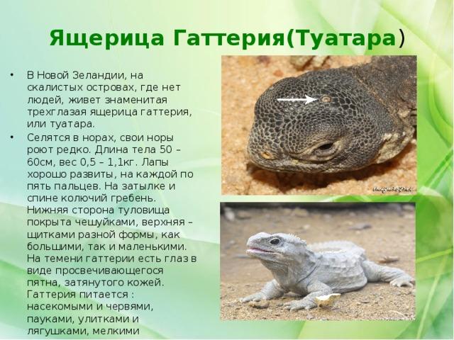 Ящерица Гаттерия(Туатара )