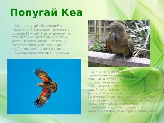 Попугай Кеа  Кеа – попугай обитающий в горах Новой Зеландии, точнее на острове Южный. Кеа эндемики, то есть встречаются только в этом месте и более нигде. Эта птица питается твёрдыми корнями, клубнями, семенами, цветами, ягодами, насекомыми и червями.  Длина тела 46 см, вес 600—1000 г. В окраске оперения преобладает оливково-зелёный, иногда слегка буроватый цвет, под крыльями перья окрашены в ярко-красный цвет. Лапы серые. Клюв тёмно-серый, сильно загнутый, надклювье длинное. Открытые окна, крышки багажников и рюкзаки становятся для них бесконечным источником удовольствия. Они уносят любые неосторожно брошенные предметы одежды или украшения и прячут их в расщелинах скал.