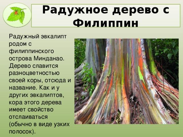 Радужное дерево с Филиппин Радужный эвкалипт родом с филиппинского острова Минданао. Дерево славится разноцветностью своей коры, отсюда и название. Как и у других эвкалиптов, кора этого дерева имеет свойство отслаиваться (обычно в виде узких полосок).