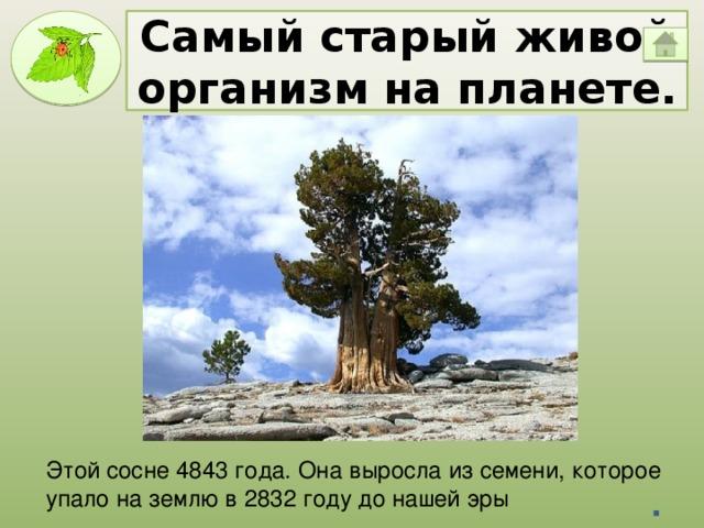 Самый старый живой организм на планете. Этой сосне 4843 года. Она выросла из семени, которое упало на землю в 2832 году до нашей эры