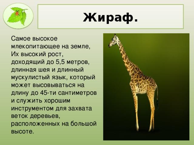 Жираф. Самое высокое млекопитающее на земле, Их высокий рост, доходящий до 5,5 метров, длинная шея и длинный мускулистый язык, который может высовываться на длину до 45-ти сантиметров и служить хорошим инструментом для захвата веток деревьев, расположенных на большой высоте.
