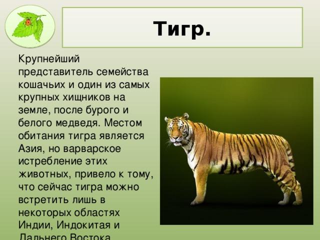 Тигр. Крупнейший представитель семейства кошачьих и один из самых крупных хищников на земле, после бурого и белого медведя. Местом обитания тигра является Азия, но варварское истребление этих животных, привело к тому, что сейчас тигра можно встретить лишь в некоторых областях Индии, Индокитая и Дальнего Востока.