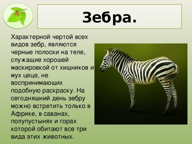 Зебра. Характерной чертой всех видов зебр, являются черные полоски на теле, служащие хорошей маскировкой от хищников и мух цеце, не воспринимающих подобную раскраску. На сегодняшний день зебру можно встретить только в Африке, в саванах, полупустынях и горах которой обитают все три вида этих животных.