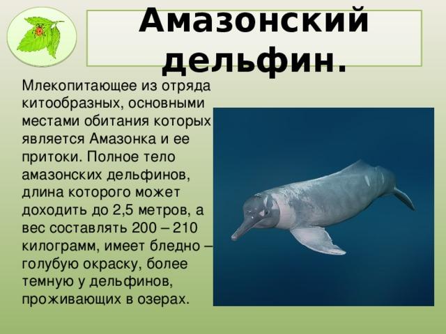 Амазонский дельфин. Млекопитающее из отряда китообразных, основными местами обитания которых является Амазонка и ее притоки. Полное тело амазонских дельфинов, длина которого может доходить до 2,5 метров, а вес составлять 200 – 210 килограмм, имеет бледно – голубую окраску, более темную у дельфинов, проживающих в озерах.