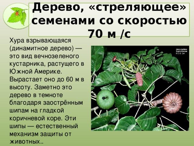 Дерево, «стреляющее» семенами со скоростью 70 м /с Хура взрывающаяся (динамитное дерево) — это вид вечнозеленого кустарника, растущего в Южной Америке. Вырастает оно до 60 м в высоту. Заметно это дерево в темноте благодаря заострённым шипам на гладкой коричневой коре. Эти шипы — естественный механизм защиты от животных..