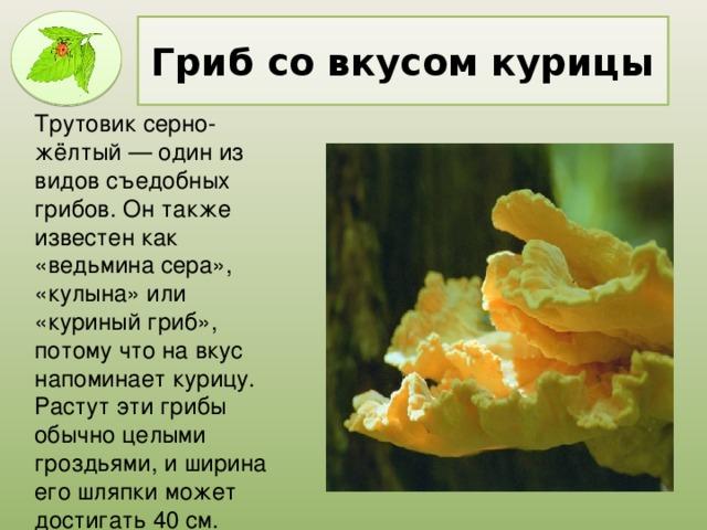 Гриб со вкусом курицы Трутовик серно-жёлтый — один из видов съедобных грибов. Он также известен как «ведьмина сера», «кулына» или «куриный гриб», потому что на вкус напоминает курицу. Растут эти грибы обычно целыми гроздьями, и ширина его шляпки может достигать 40 см.