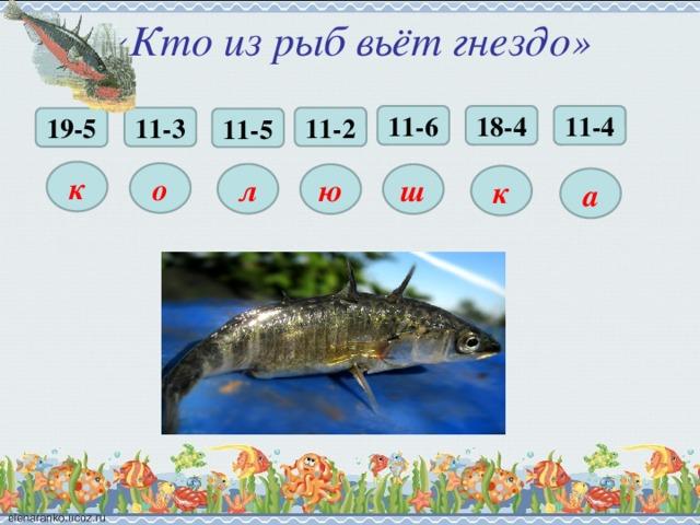 «Кто из рыб вьёт гнездо» 18-4 11-6 11-4 11-2 11-3 19-5 11-5 к о л ю ш к а