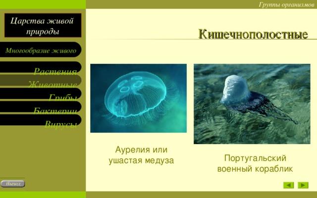 Кишечнополостные Аурелия или ушастая медуза Португальский военный кораблик